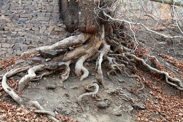 درخت کهنسال دیزباد بالا