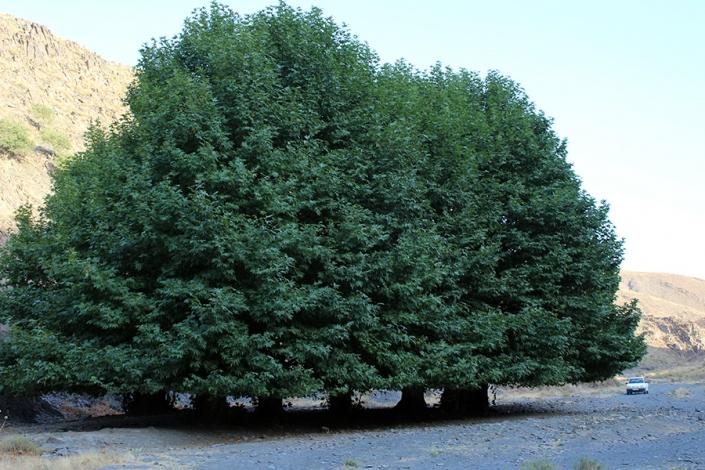 درختان کهنسال کلاته