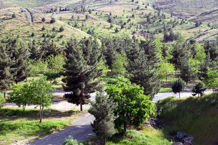 درخت کاج پارک خورشید،مسیر قله زو،پارک ها و بوستانهای شهر مشهد،جاذبه های گردشگری شهر مشهد،دیدنی های شهر مشهد