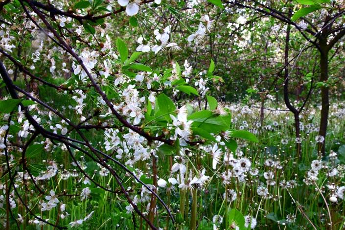 شکوفه های بهاری باغ های مغانروستای مغان،غار مغان،از تفرجگاه های مشهد،جاهای دیدنی مشهد