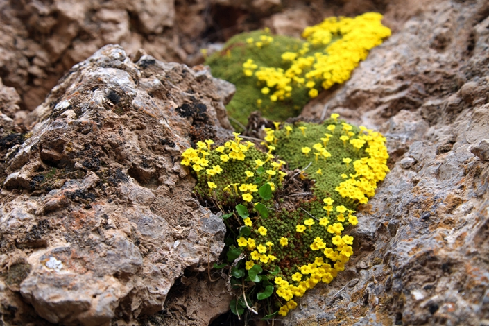 گل سنگ طبیعت بهاری کلاته عرب