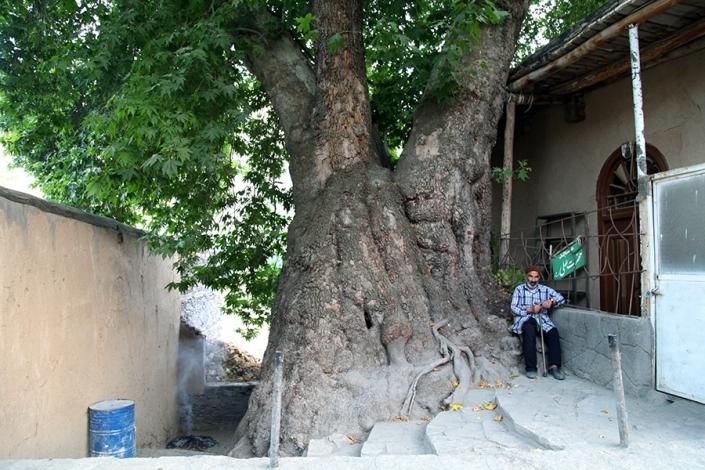 چنار کهنسال روستای دهبار،از تفرجگاه های مشهد،جاهای دیدنی مشهد،رودخانه طرقبه